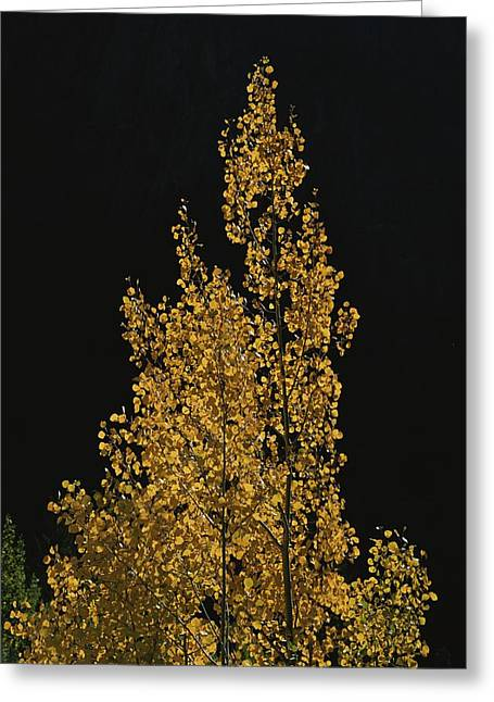 Light And Dark Greeting Cards - Fall Foliage Decorates A Quaking Aspen Greeting Card by Marc Moritsch