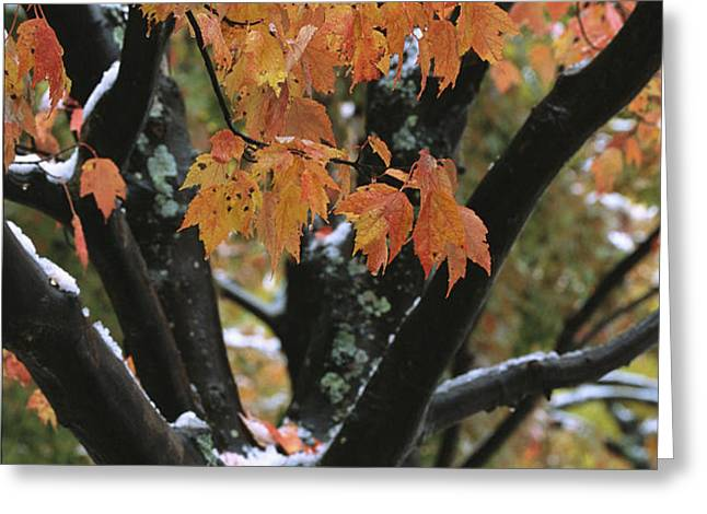 Fall Foliage Of Maple Tree After An Greeting Card by Tim Laman