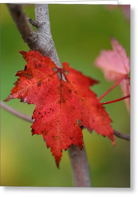 Fall Leaf Greeting Card by Brady D Hebert