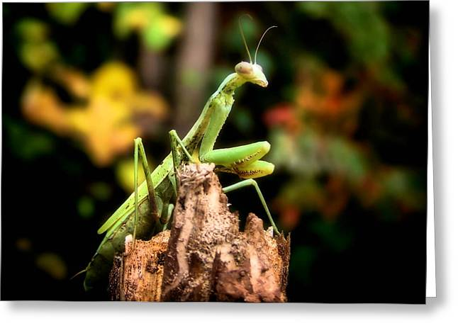 Mantises Greeting Cards - Fall Mantis Greeting Card by Karen M Scovill