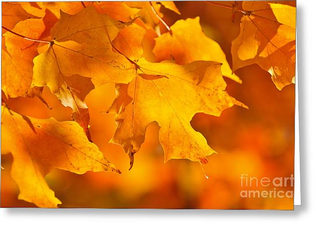 Sunlit Greeting Cards - Fall maple leaves Greeting Card by Elena Elisseeva