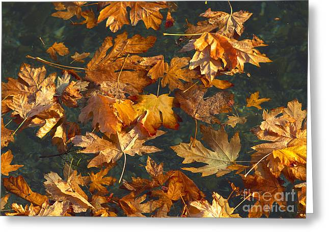 Fall Maple Leaves On Water Greeting Card by Sharon Talson