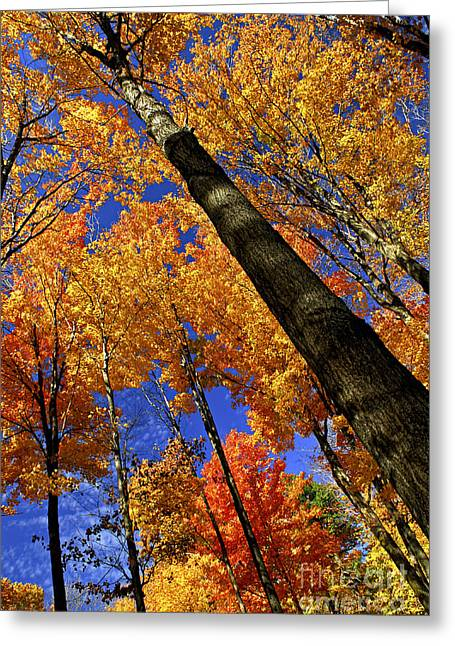 Shining Light Greeting Cards - Fall maple trees Greeting Card by Elena Elisseeva