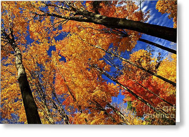 Shining Light Greeting Cards - Fall maple treetops Greeting Card by Elena Elisseeva