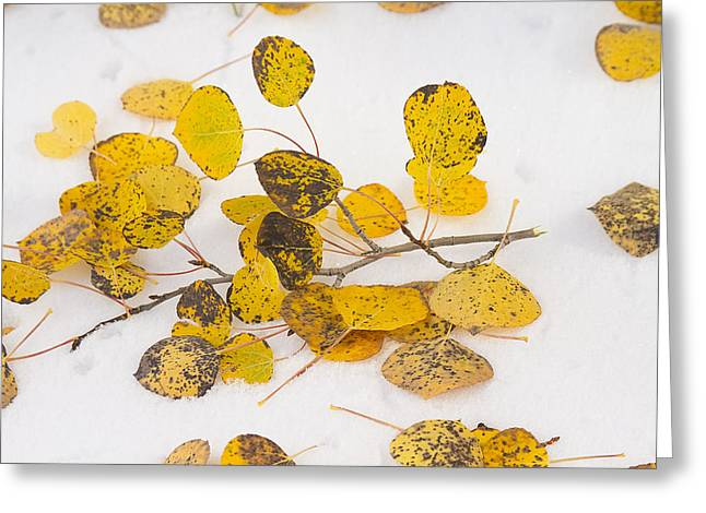 Snow Tree Prints Greeting Cards - Fallen Autumn Aspen Leaves Greeting Card by James BO  Insogna