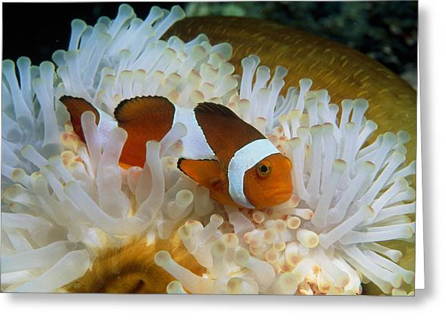 Cooperation Greeting Cards - False Clown Anemone Fish Greeting Card by Georgette Douwma