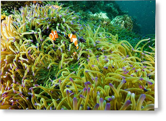 False Clown Anemonefish Amphiprion Greeting Card by Tim Laman