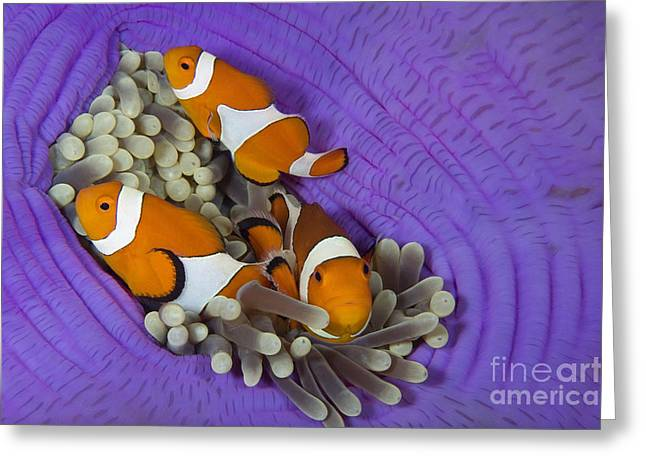 Anemonefish Greeting Cards - False Clownfish Greeting Card by Franco Banfi and Photo Researchers