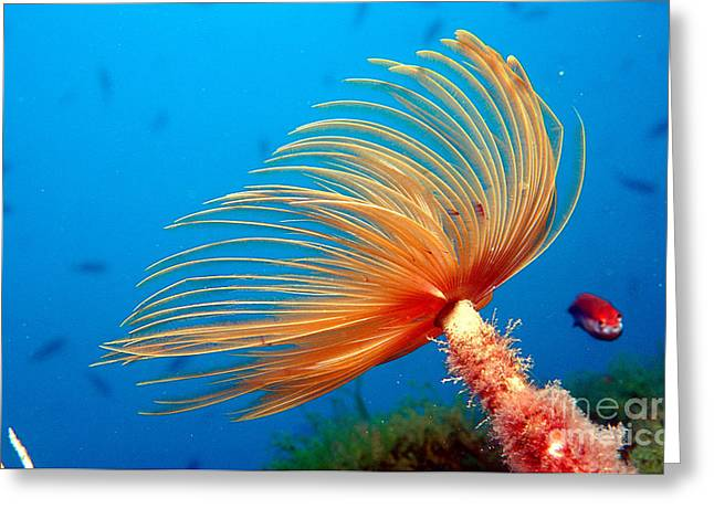 Aquatic Greeting Cards - Fan Worm Greeting Card by Novastock and Photo Researchers