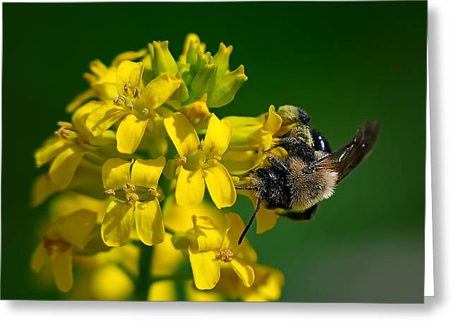 Knob Greeting Cards - Fanfare For The Common BumbleBee Greeting Card by Lois Bryan