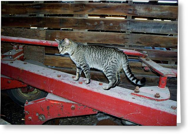 Barn Yard Greeting Cards - Farm Cat Greeting Card by Thomas Woolworth