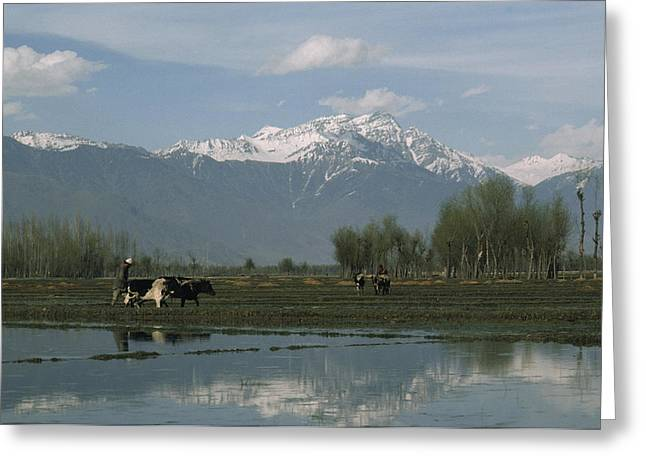 Rice Paddy Greeting Cards - Farmers Plow Rice Paddies With Oxen Greeting Card by Gordon Wiltsie