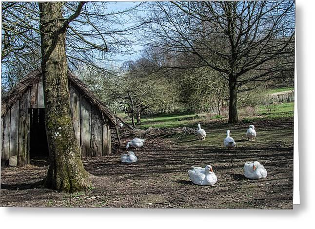 Geese Greeting Cards - Farmyard Geese Greeting Card by Dawn OConnor