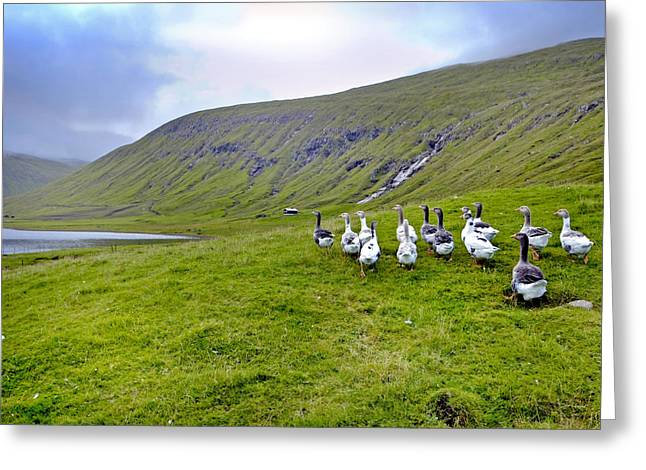 Faro Greeting Cards - Faroes Geese Greeting Card by Robert Lacy