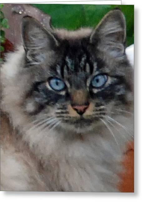 Cat Photographs Greeting Cards - Fat Cats of Ballard 9 Greeting Card by Carol  Eliassen