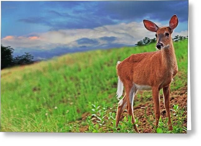 Old Forge Greeting Cards - Fawn Greeting Card by Everet Regal