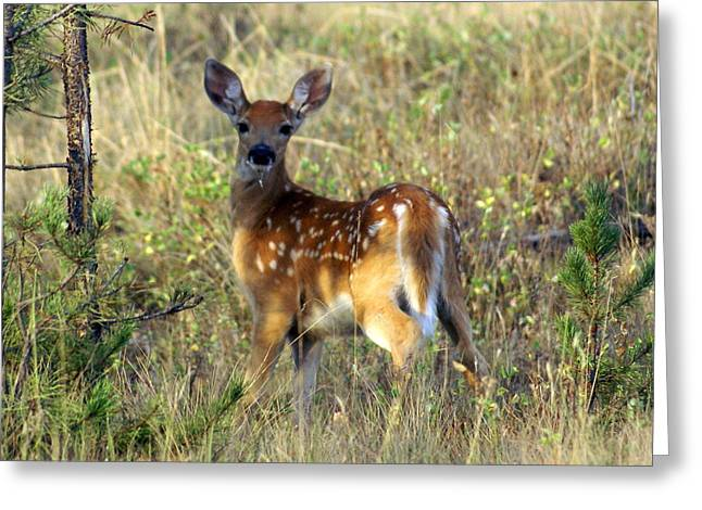 Marty Koch Greeting Cards - Fawn Greeting Card by Marty Koch
