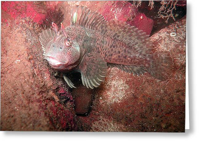 Wall Art For Your Home Greeting Cards - Feather Blenny female Greeting Card by Paul Ward