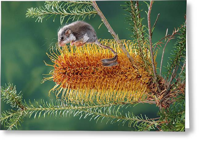 Proteaceae Greeting Cards - Feather-tail Glider Acrobates Pygmaeus Greeting Card by Jean-Paul Ferrero