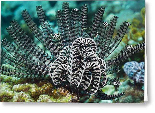 Zoology Greeting Cards - Featherstar On A Reef Greeting Card by Georgette Douwma