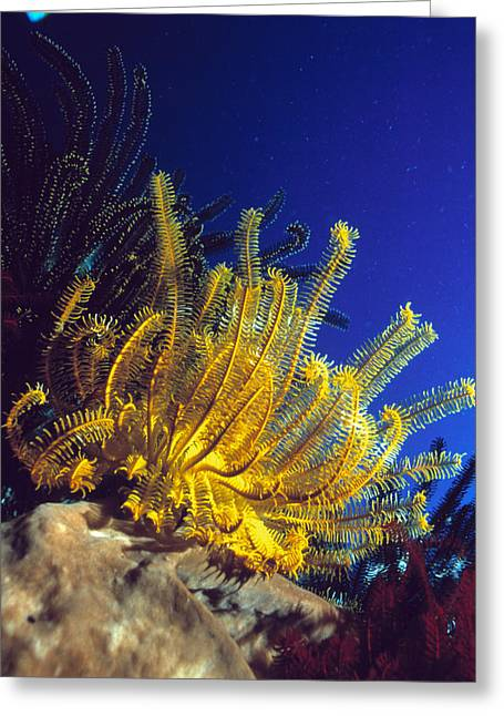Plankton Greeting Cards - Featherstars On Coral Greeting Card by Peter Scoones