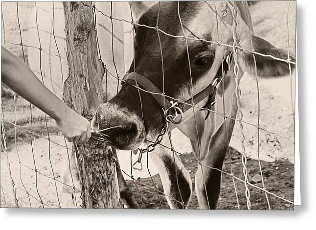 Fed Greeting Cards - Feeding Baby Cow On Farm Greeting Card by Tracie Kaska