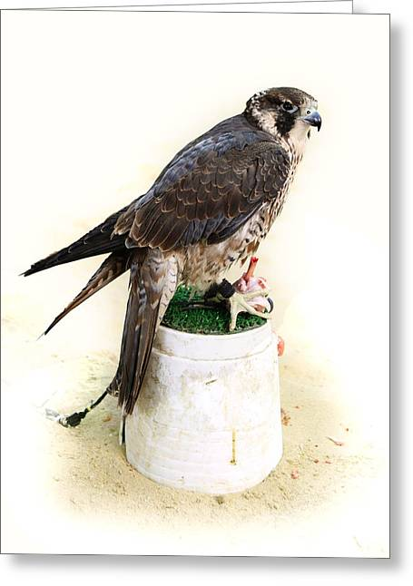 Falcon Hunting Greeting Cards - Feeding falcon Greeting Card by Paul Cowan