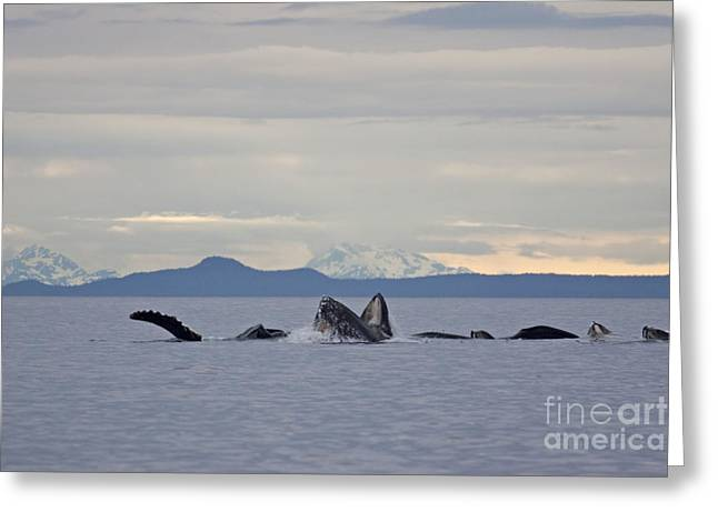 Ocean Mammals Greeting Cards - Feeding Humpbacks Number One Greeting Card by Tim Grams