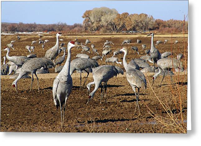 New Mexico Greeting Cards - Feeding Time Bosque Del Apache Greeting Card by Kurt Van Wagner