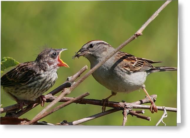 Sparrow Greeting Cards - Feeding Time Greeting Card by Bruce J Robinson