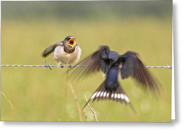 Baby Swallows Greeting Cards - Feeding Time Greeting Card by Donna Caplinger