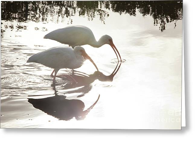 Bird Photography Greeting Cards - Feeding White Ibis Greeting Card by Keith Kapple
