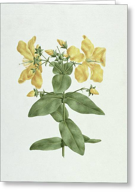 Graphite Paintings Greeting Cards - Feel-Fetch - Hypericum quartinianum Greeting Card by James Bruce