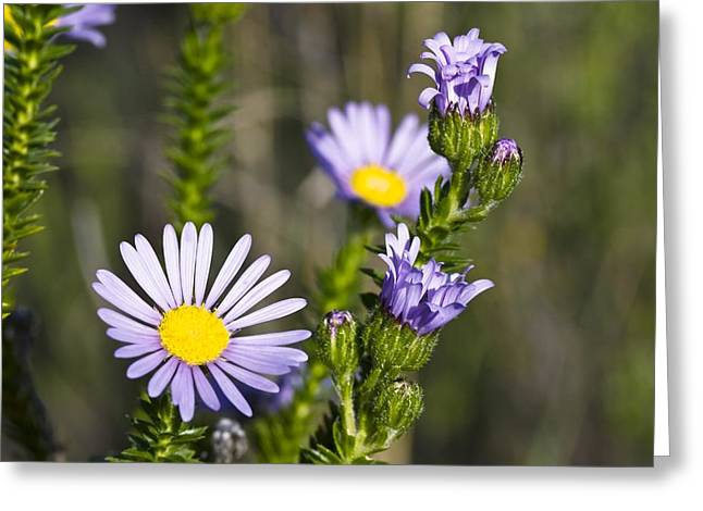 Felicia (felicia Echinata) Flowers Greeting Card by Peter Chadwick