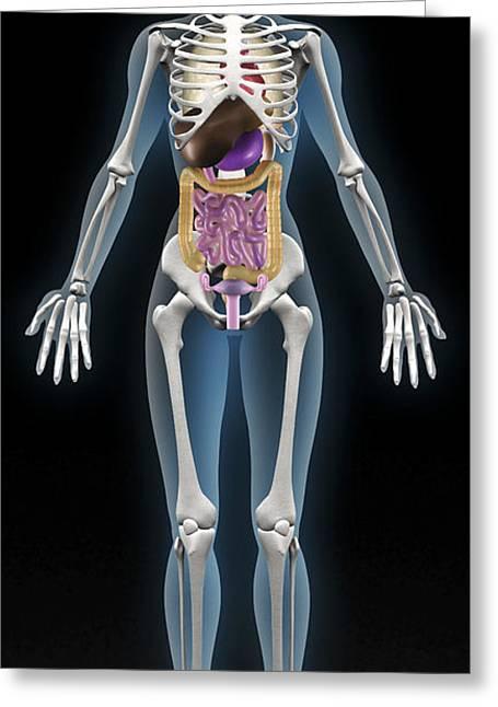 Uterus Greeting Cards - Female Anatomy Greeting Card by Christian Darkin