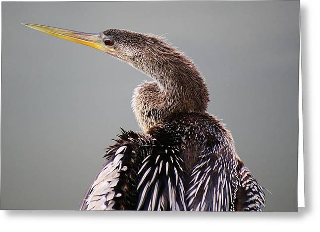 Female Anhinga Greeting Card by Paulette Thomas