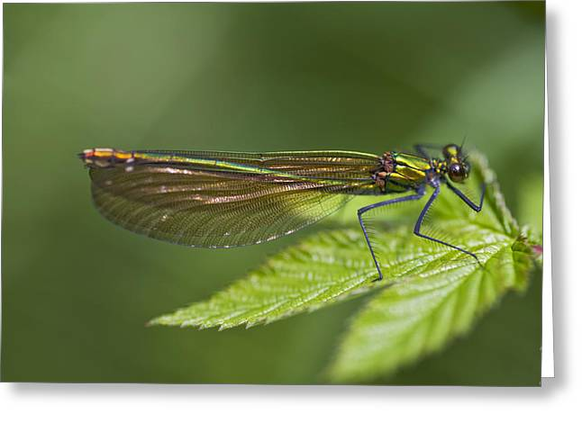Demoiselles Greeting Cards - Female Banded Demoiselle Damselfly Greeting Card by Dr Keith Wheeler