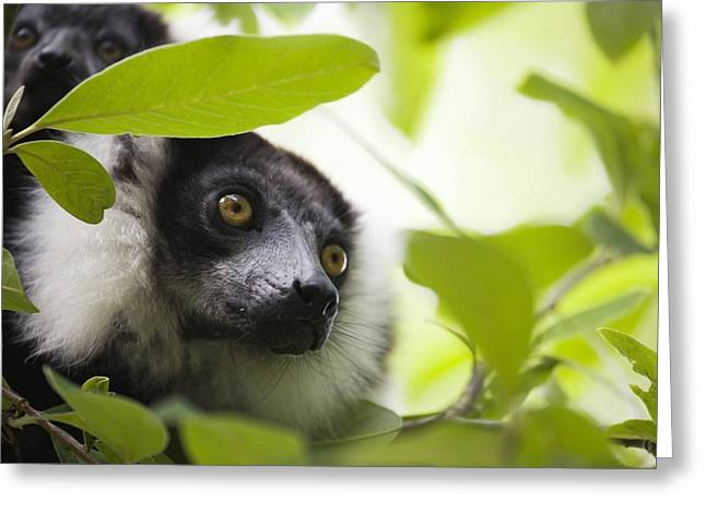 Variegata Greeting Cards - Female Black And White Ruffed Lemur Greeting Card by Power And Syred