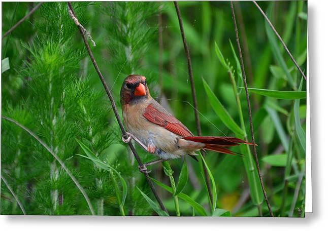 Female Cardinal - C5527a Greeting Card by Paul Lyndon Phillips
