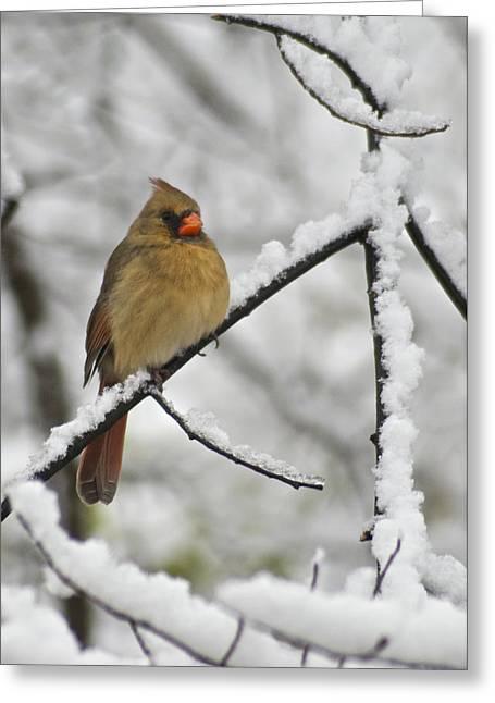 Female Cardinal 3656 Greeting Card by Michael Peychich