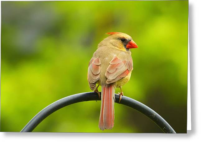 Female Northern Cardinal Greeting Cards - Female Cardinal on Pole Greeting Card by Bill Tiepelman