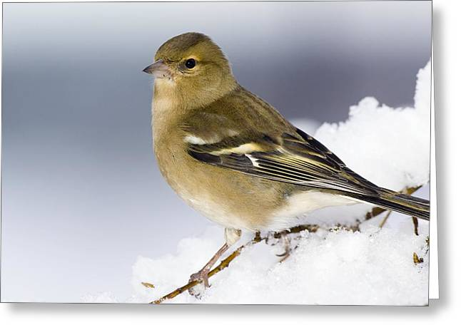 Wintry Greeting Cards - Female Chaffinch Perched In A Tree Greeting Card by Duncan Shaw