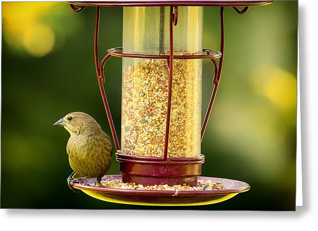 Bird-feeder Greeting Cards - Female Cowbird on Feeder Greeting Card by Bill Tiepelman