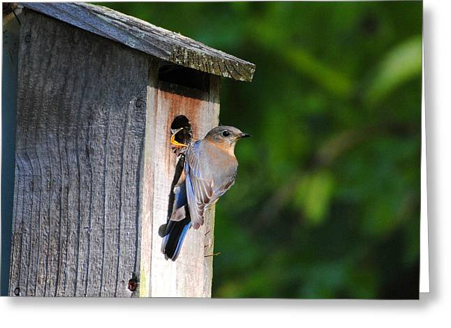 Female Eastern Bluebird IIi Greeting Card by Jai Johnson