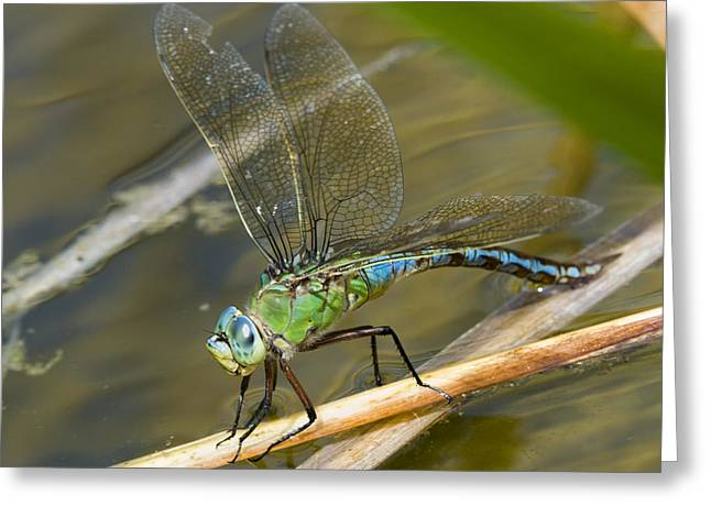 Surface Tension Greeting Cards - Female Emperor Dragonfly Greeting Card by Adrian Bicker