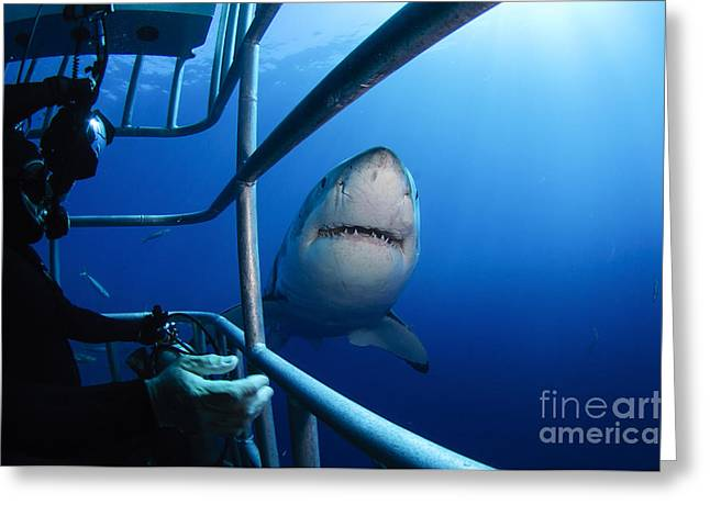 Pictures Of Sea Life Greeting Cards - Female Great White And Underwater Greeting Card by Todd Winner