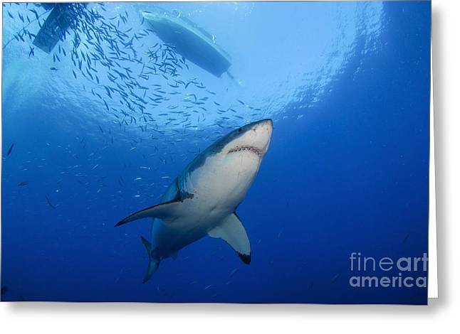 Guadalupe Island Greeting Cards - Female Great White, Guadalupe Island Greeting Card by Todd Winner