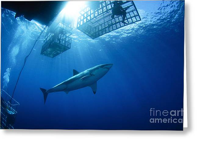 White Shark Greeting Cards - Female Great White With Cages Greeting Card by Todd Winner