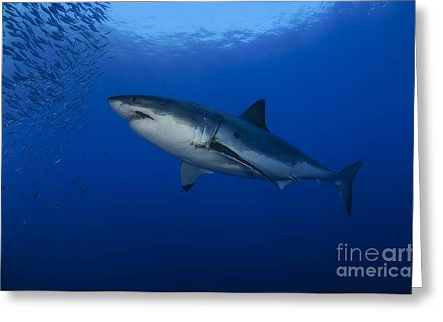 White Shark Greeting Cards - Female Great White With Remora Greeting Card by Todd Winner