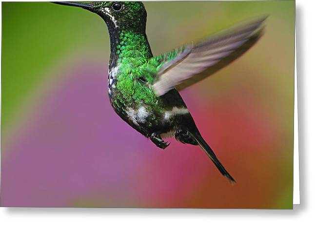 Female Green Thorntail Greeting Card by Tony Beck